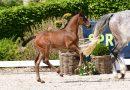 Holsteiner Hybrid-Auktion: Countdown läuft